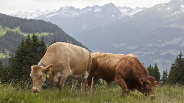 Obersaxer Kühe sollen GPS bekommen