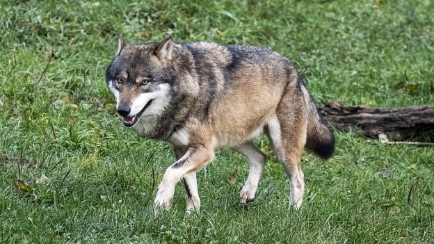 Wolf geht über eine Wiese