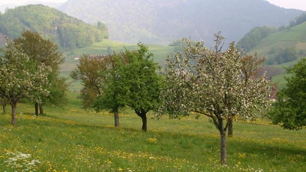 Nidwalden zahlt nur noch an die Anpflanzung von robusten Kernobstbäumen.