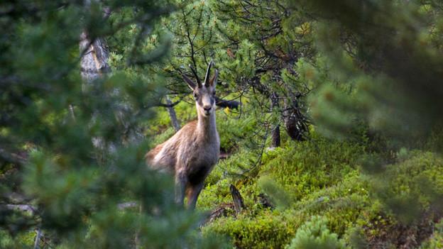 Gämse machen dem Schutzwald an der Rigi zu schaffen