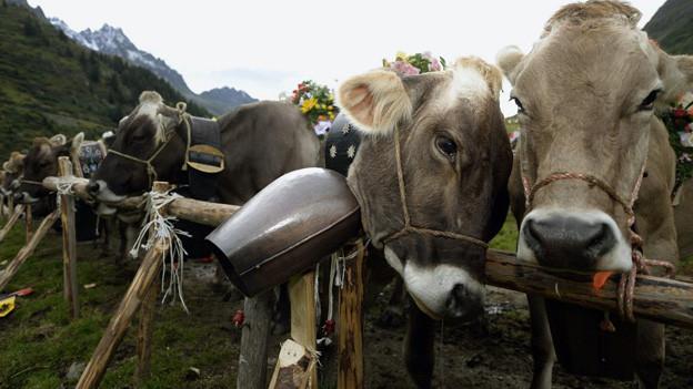 Der Alpsommer 2013 war sehr gut, bilanzieren die Älpler.