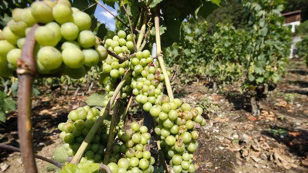 Immer mehr Landwirte setzen auf Rebbau als langfristige Einnahmequelle.