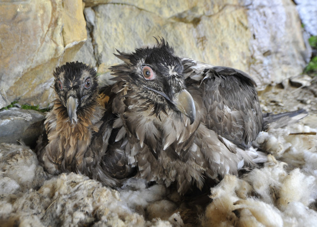 Junge Bartgeier in ihrem Nest.