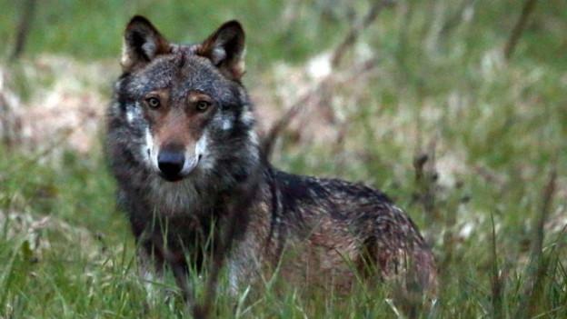 Die Behörden gehen davon aus, dass ein Wolf die Schafe in Emmetten gerissen hat.