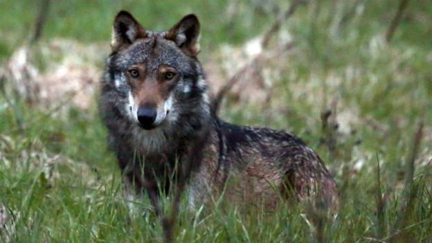 Wolf in einer Wiese.