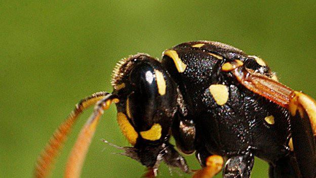 Wespenstiche sind schmerzhaft und für Allergiker sogar gefährlich