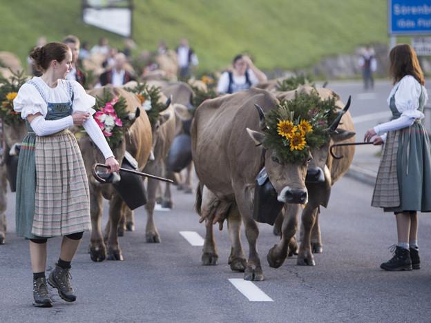 Die mit Blumen geschmückten Kühe werden ins Tal getrieben.