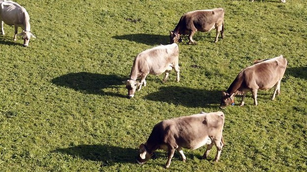 Kühe auf einer Weide oberhalb von Engelberg.
