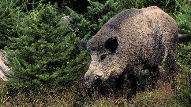 Ein Wilschwein.
