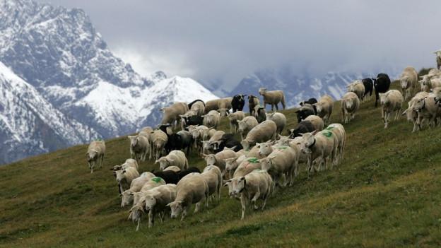 Mit dem Aufkommen des Wolfs müssen die Schafe auf den Alpen besser geschützt werden