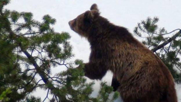 Vielleicht ist in Schwyz ein Bär unterwegs.