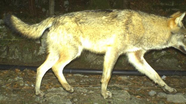 Ein Fotofallenbild des Wolfes vom April diesen Jahres