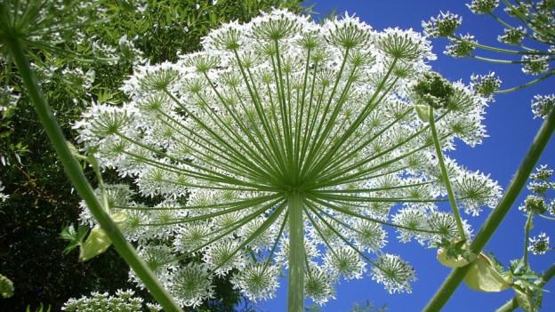 Blüten des Riesenbärenklaus.