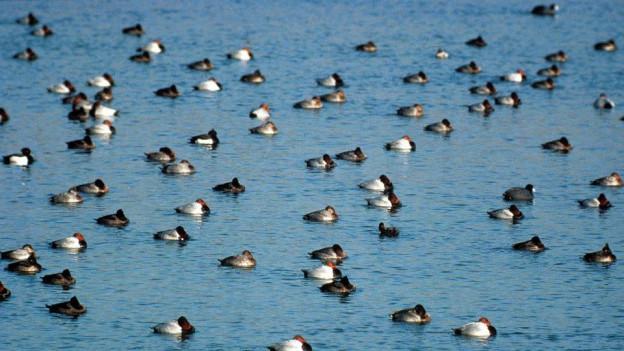 In der Bodensee- und Genferseeregion wurde bei Wildvögeln der Vogelgrippe-Virus nachgewiesen.