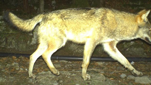 Fotofallenbild des inzwischen erlegten Urner Wolfs vom April 2016