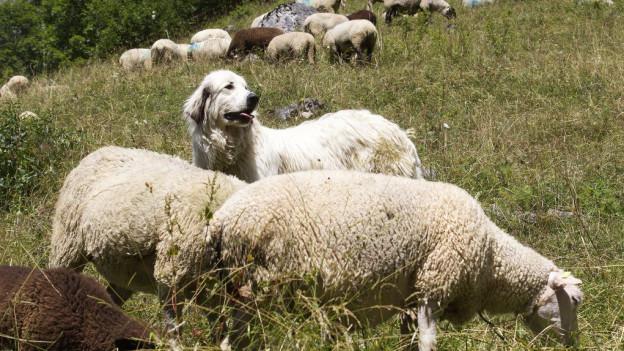 Herdenschutzhunde sind umstritten.