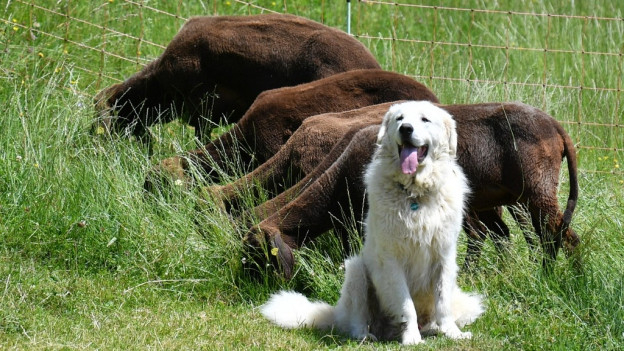 Der Tourismus im Urserental sei durch Herdenschutzhunde gefährdet.
