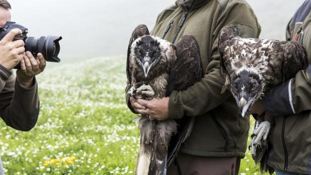 Zwei Wildhüter halten zwei Bartgeier auf den Armen.