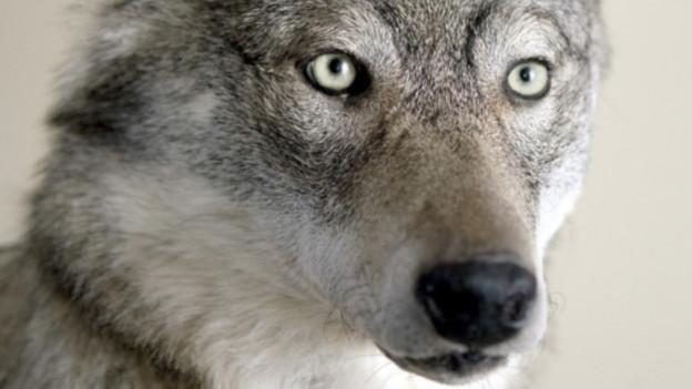 Der Kopf eines Wolfs.