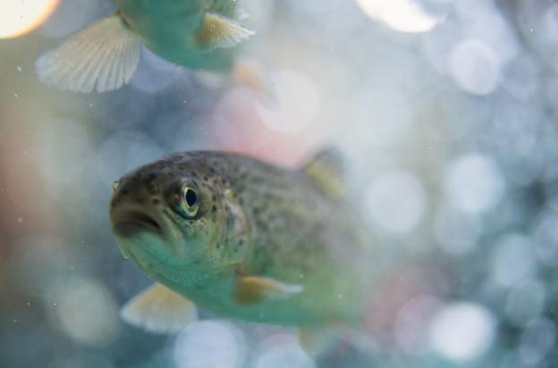 Eine Forelle schwimmt in einem Bach.