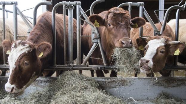 Heu für Kühe wird wegen der Trockenheit knapp