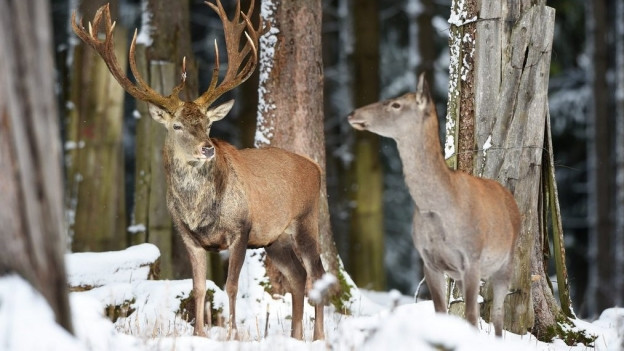 Ein Hirsch in verschneiter Landschaft.