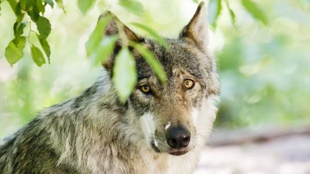 Im Kanton Uri hat die Sicherheitsdirektion bis jetzt zweimal einen Wolf nach Angriffen auf Schafherden zum Abschuss frei gegeben.