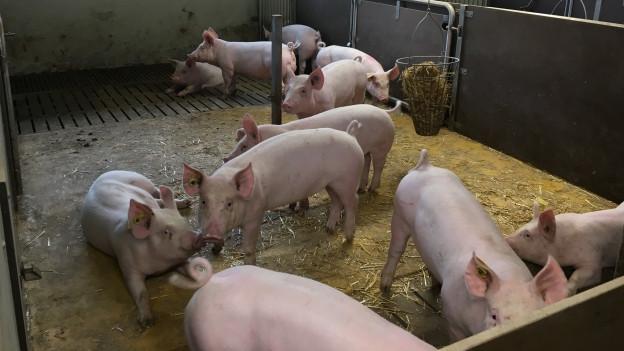 Schweine bei der Suisag in Sempach.
