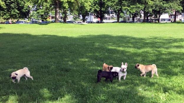 Nicht alle freuen sich über die Hundefreilaufzone auf der Churchillwiese am Luzerner Quai
