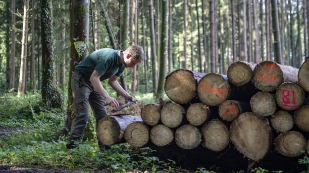Ein Förster untersucht befallenes Holz in einem Wald im Seetal.