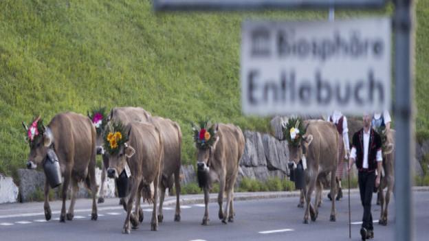 Geschmückte Kühe auf der Strasse bei Sörenberg.