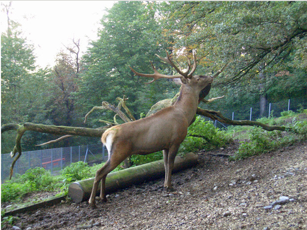 Rothirsch im Luzerner Hirschpark