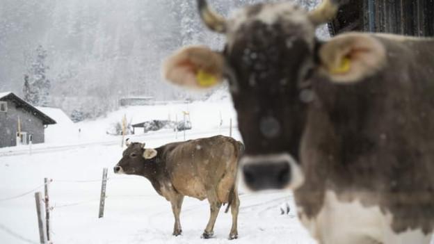 Die Kuh in Einsiedeln litt nicht unter dem hochansteckenden Rinderwahnsinn.