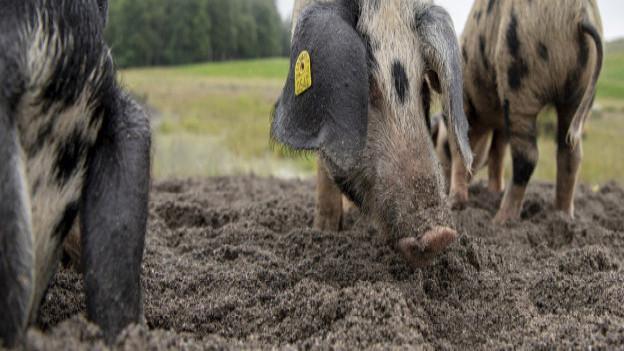 Die drei kroatischen Schweine schaffen wertvollen Naturraum.