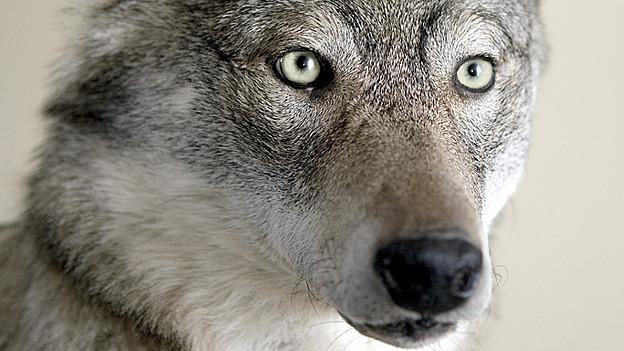 Ein Wolf hat im Wallis 17 Schafe getötet - nun hat die Bevölkerung Angst