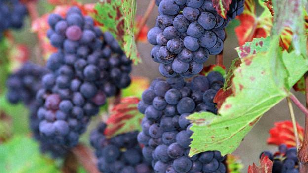 Nicht überall hängen sie so üppig wie hier: Die Pinot Noir Trauben.