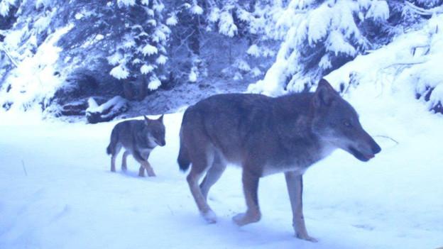 Ein Wolf unterwegs im Calandagebiet.