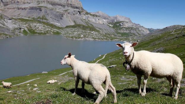 Zwei Schafe weiden vor einem Bergsee.