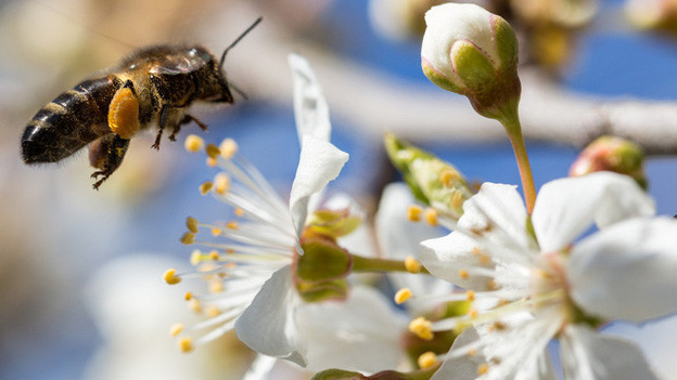 Gefährdete Bienen: Nun ist klar, weshalb letzten Mai im Emmental mehr als 150 Völker verendet sind.