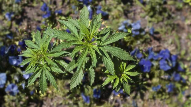 Hanf: Berner Kantonsparlament will nichts wissen von Cannabis-Clubs.