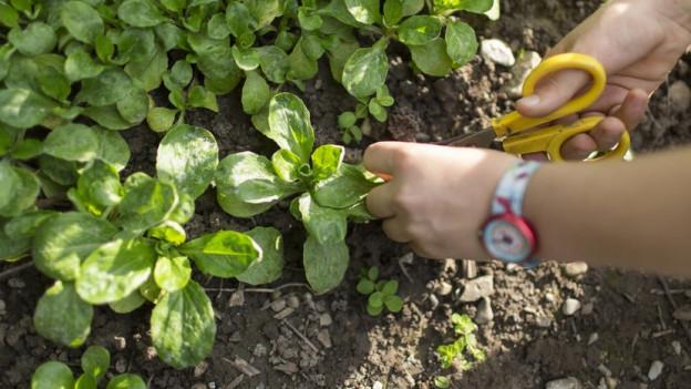 Salat darf an gewissen Orten nicht mehr angepflanzt werden.