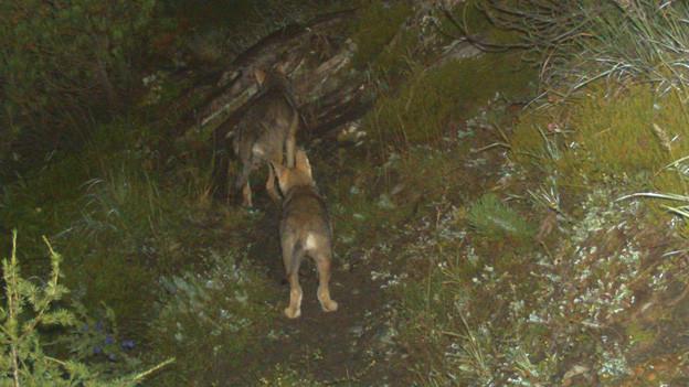 Ein Calanda-Wolf ist nun mit eine Sender versehen.