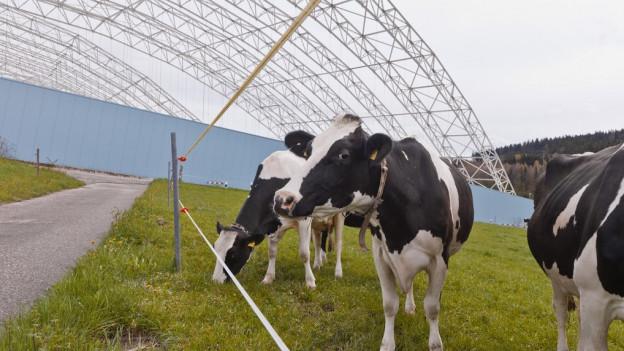 Kühe vor der Halle zum Rückbau der Sondermülldeponie Kölliken