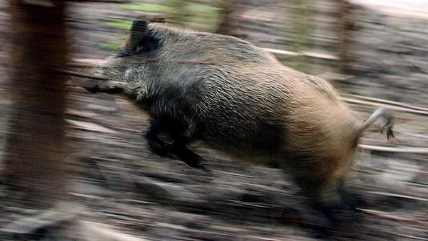 Das Wildschwein: im Kanton Aargau gibt es regelmässig grosse Schäden.