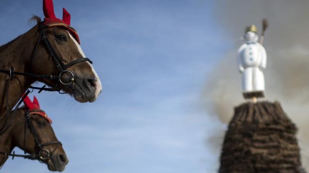 EIne Studie soll zeigen wie grosser der Stress der Pferde ist