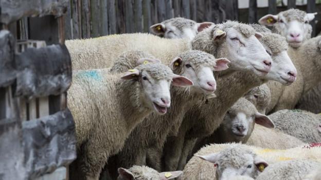 Schafe Thurgau