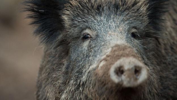 Das Wildschwein macht im ganzen Mittelland Sorgen.