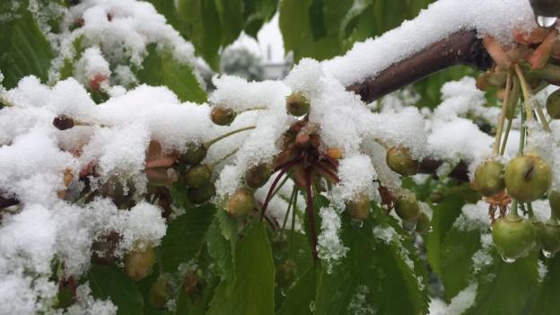 Frost und Schnee haben die Kirschblüten zerstört.