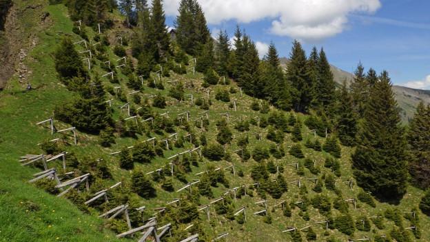 Rund um Brienz werden Schutzwälder aufgeforstet