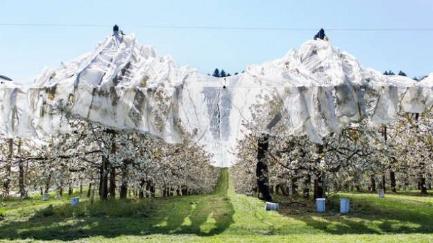 Die Bauern müssen ihre Bäume gegen die Maikäfer schützen.